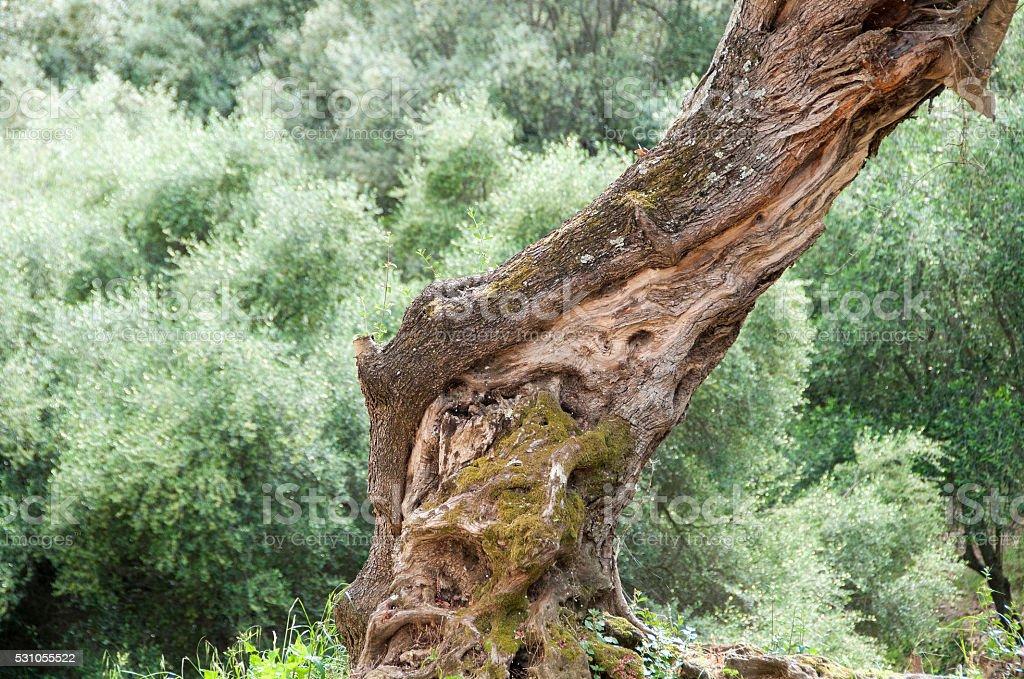 oliveraie stock photo