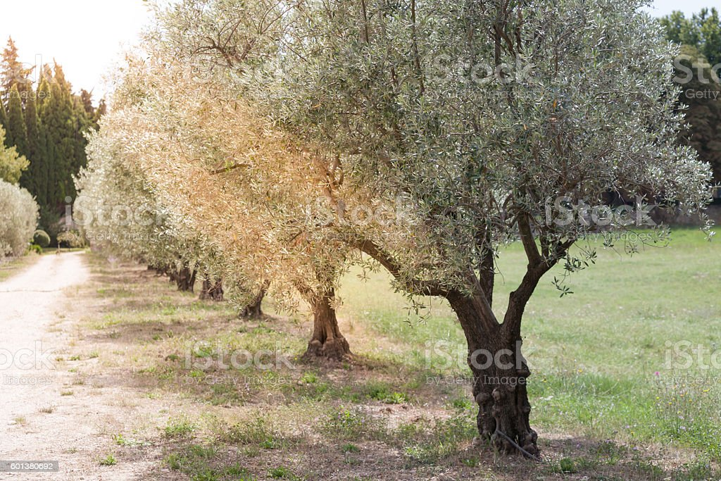 Olives alley in Provence, France stock photo