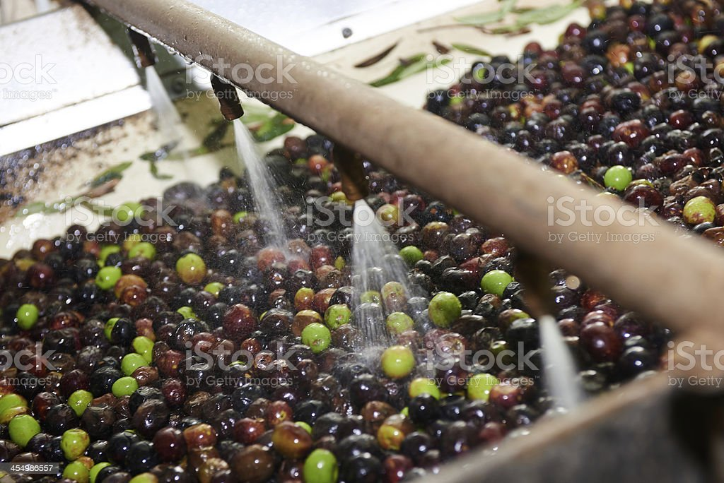 Olives being prepared to be pressed stock photo