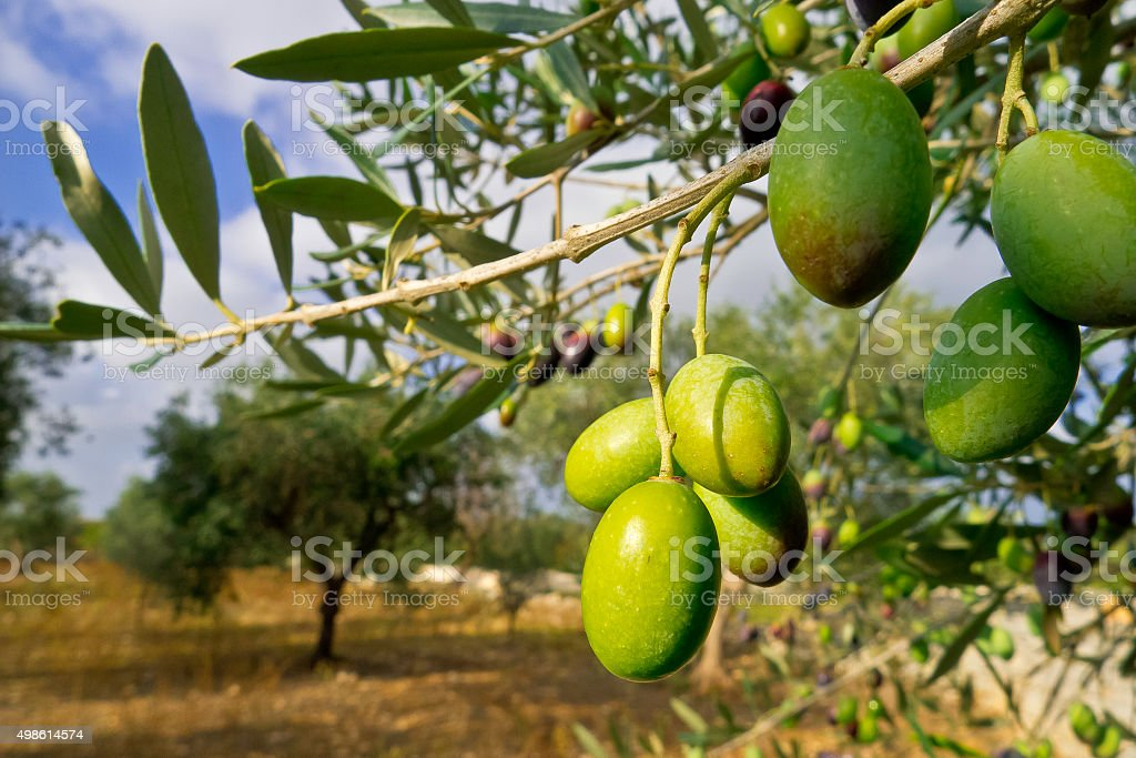 Olives green in growth. stock photo