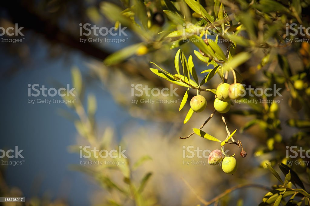 Olives hang on a branch royalty-free stock photo