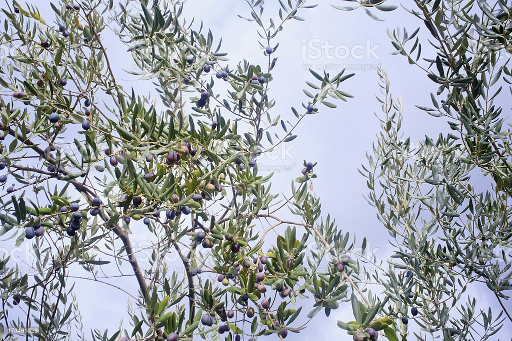 Olives harvest royalty-free stock photo