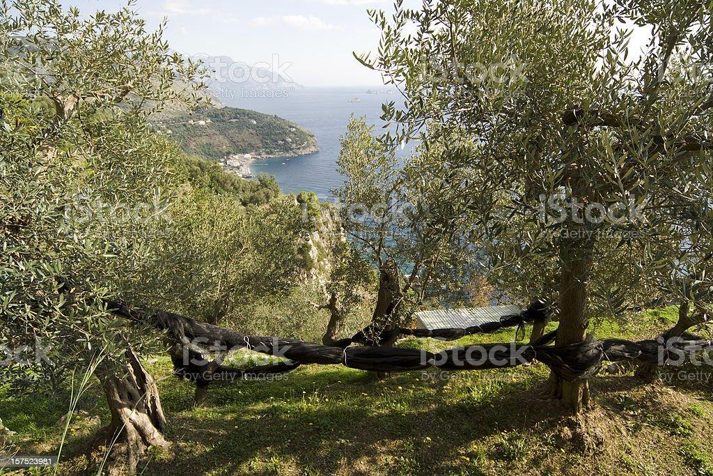 Olives Harvesting in the Amalfi Coast, near Sorrento royalty-free stock photo