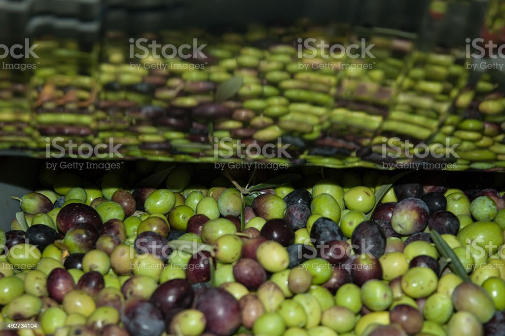 Olives in oil mill royalty-free stock photo
