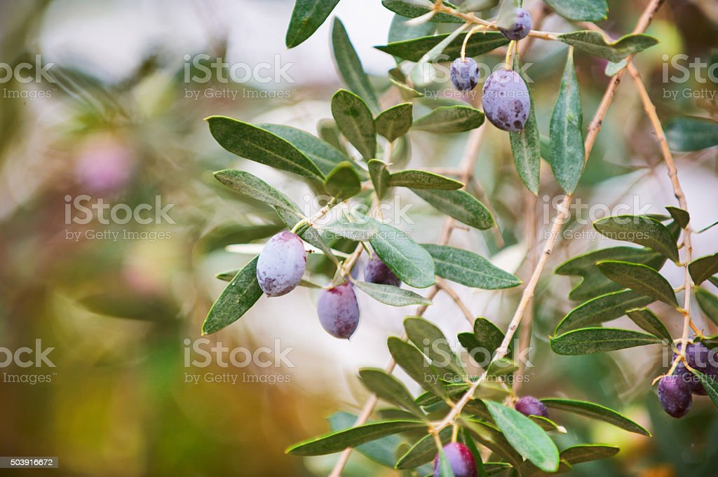 olives in the branch stock photo