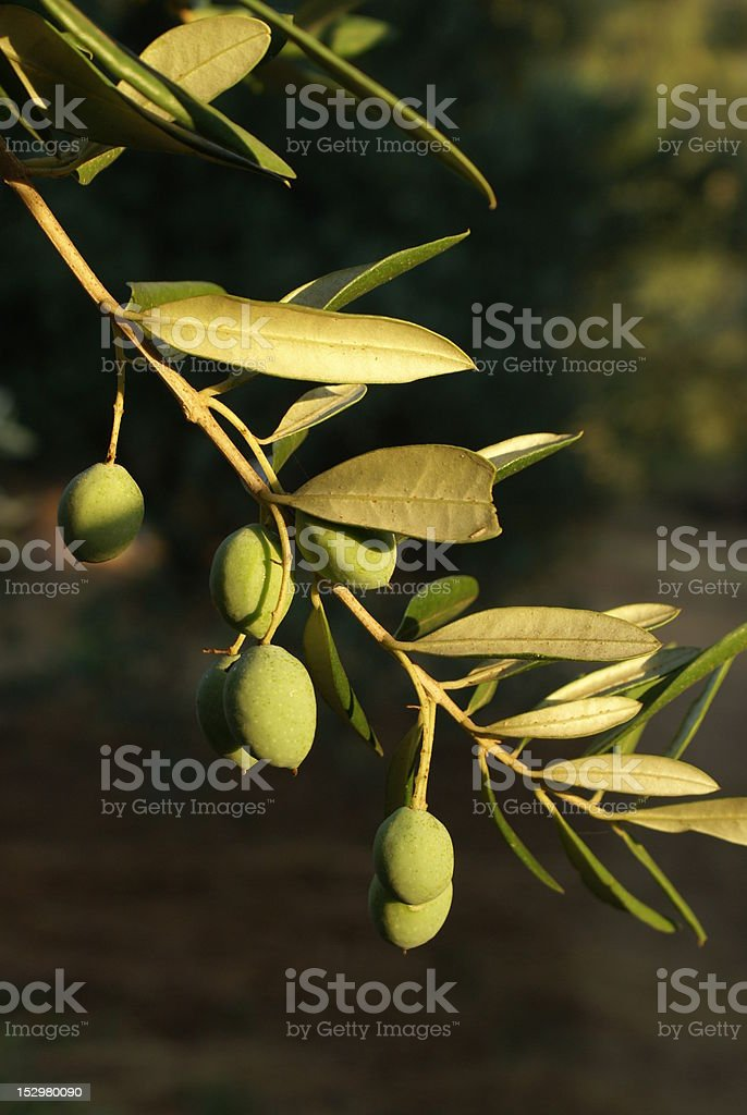 Olives on a branch royalty-free stock photo