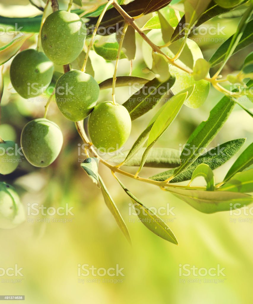 Olives on a branch. stock photo