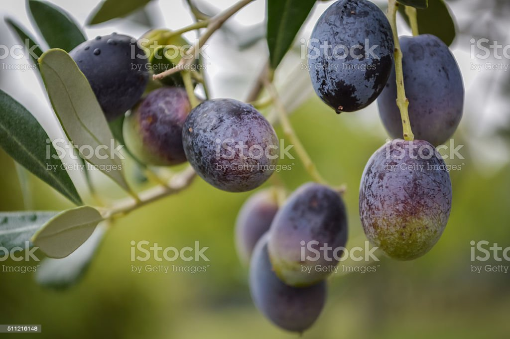 Olives on a branch stock photo
