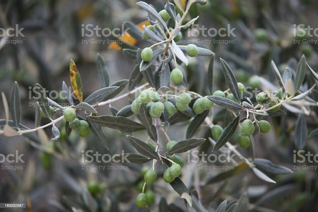 Olives on a tree stock photo
