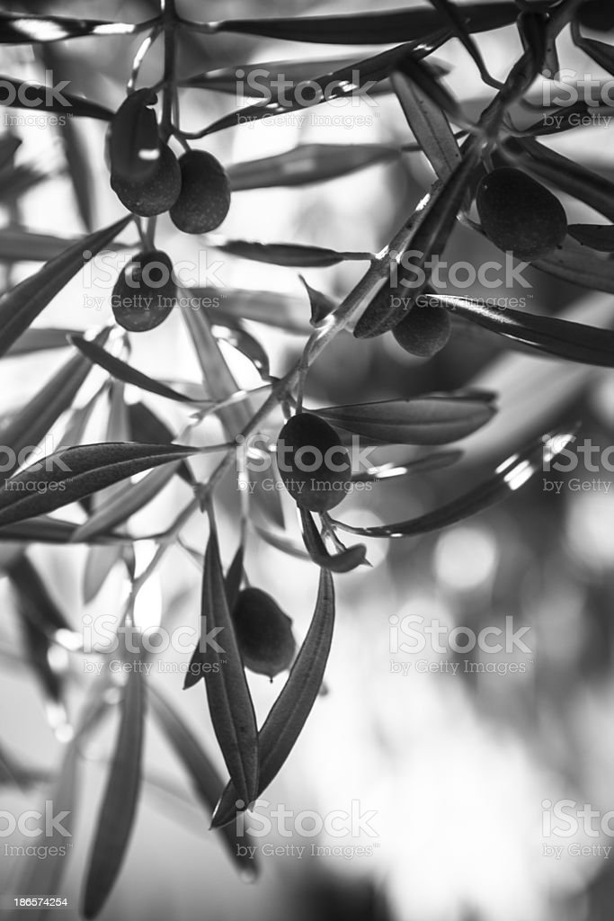 Olives on a tree royalty-free stock photo