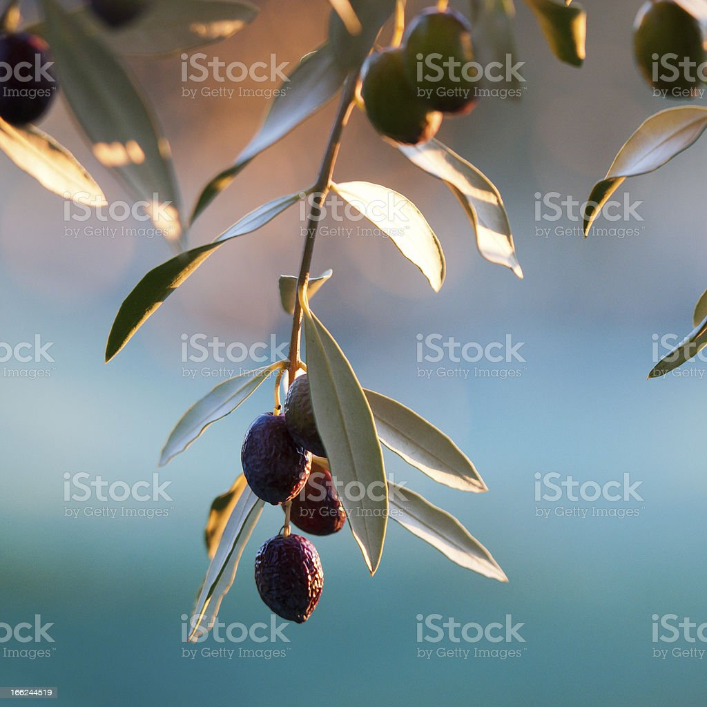 olives sur branche d'olivier royalty-free stock photo
