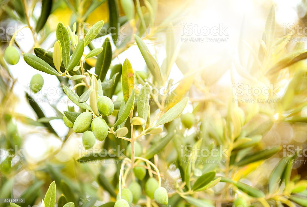Olives on olive tree branch. stock photo