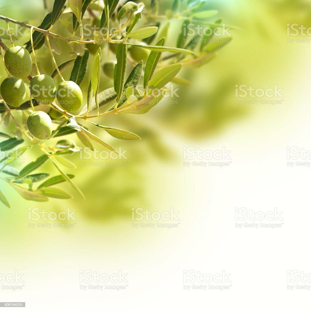 Olives on olive tree in autumn. stock photo