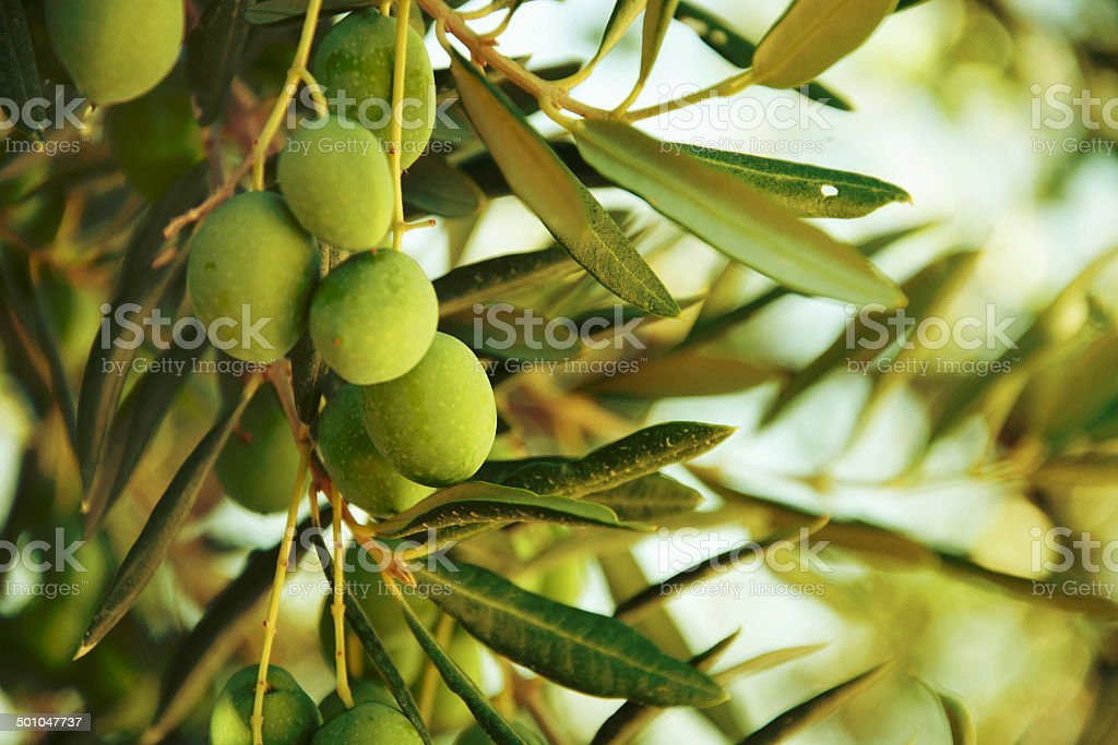 Olives on olive tree in autumn. stock photo