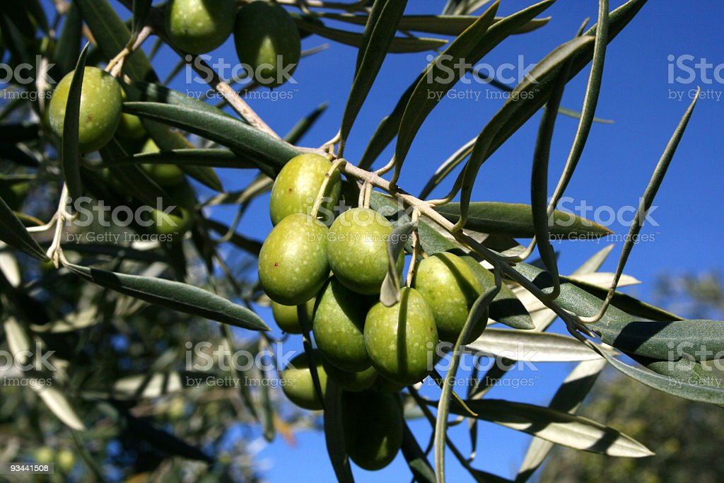 Olives on the olive tree royalty-free stock photo