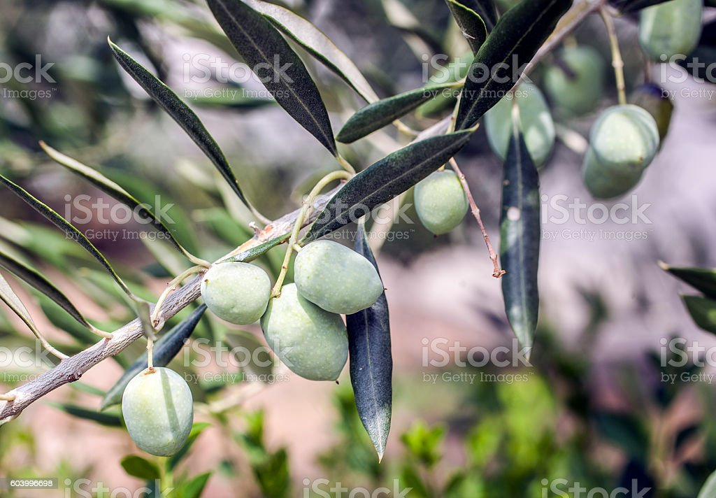olives on the tree stock photo