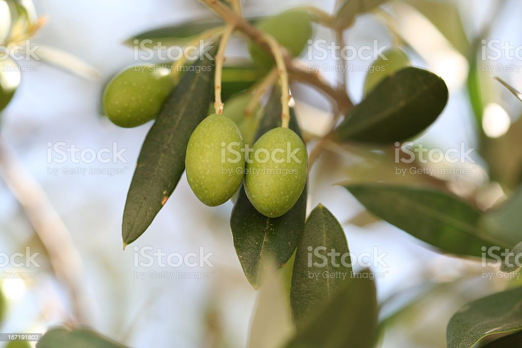 Olives On Tree royalty-free stock photo
