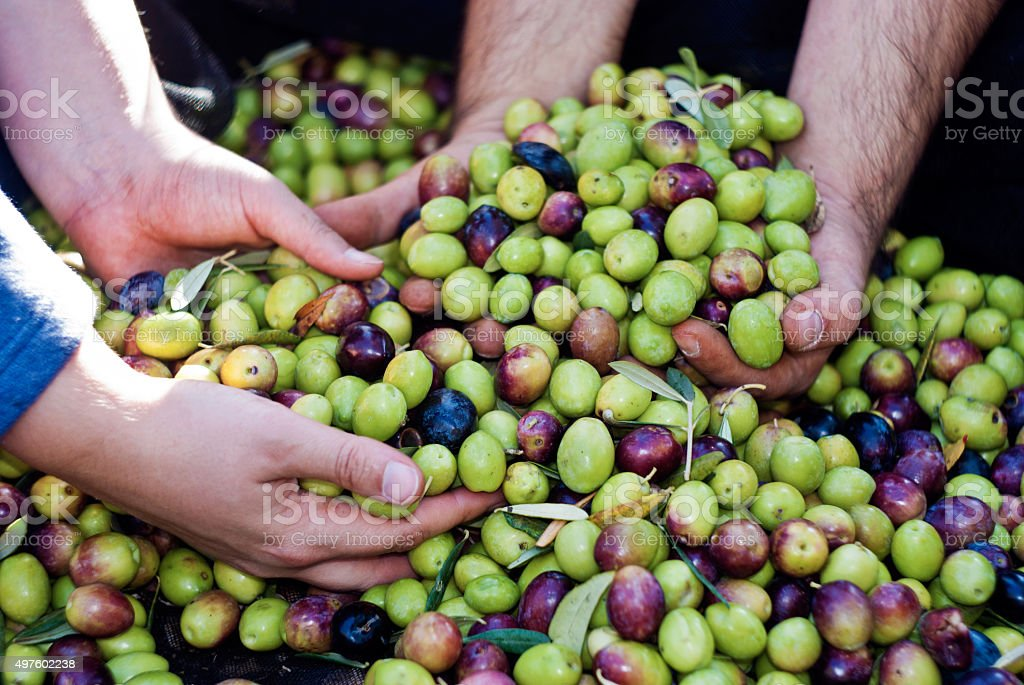 Olives picking in Sicily stock photo