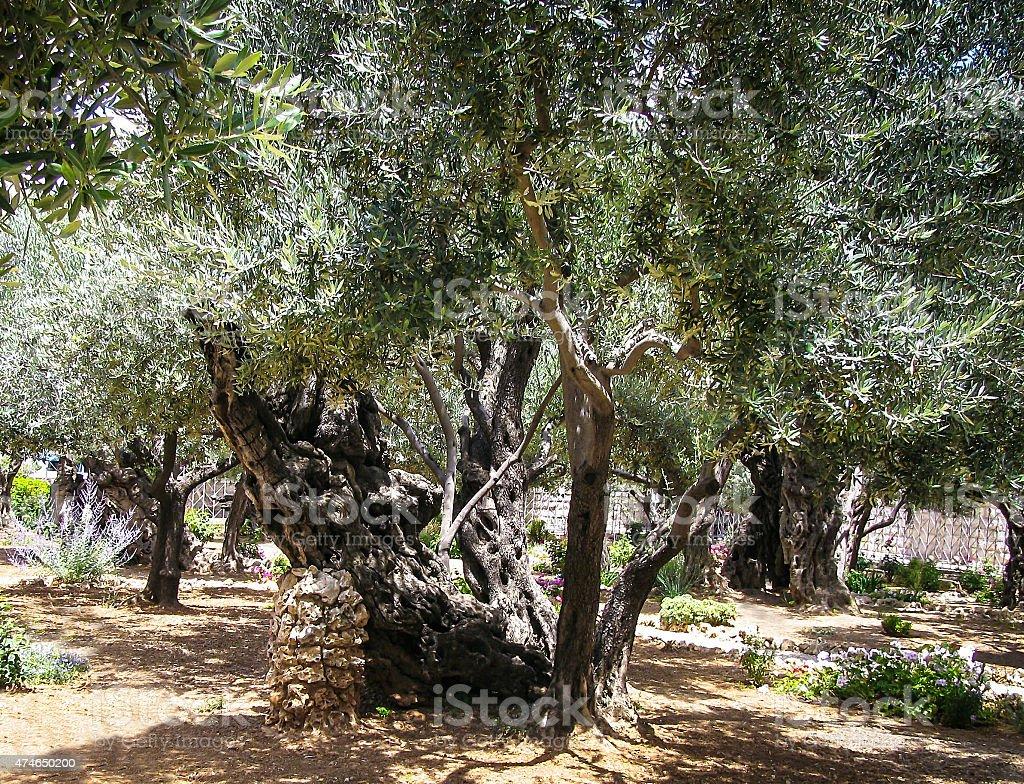 Olives trees in the Garden of Gethsemane, Jerusalem. stock photo
