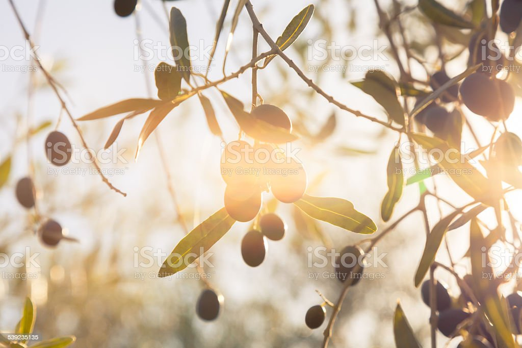 olives under autumnal sun stock photo