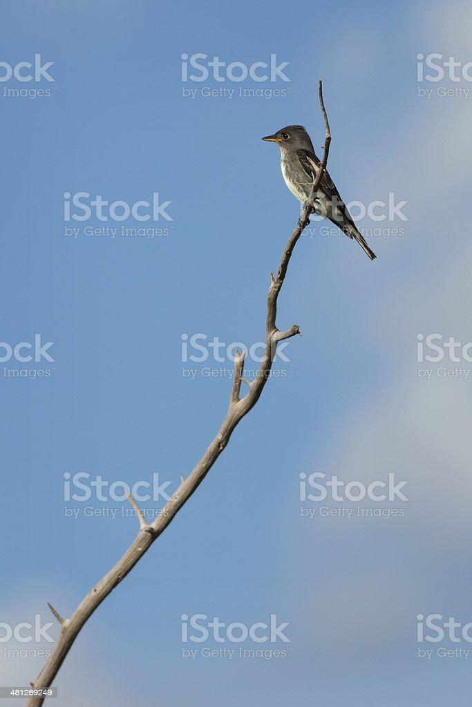 Olive-sided Flycatcher royalty-free stock photo