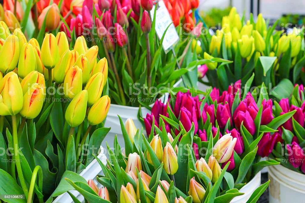 ?olorful tulips close up in a flower shop stock photo