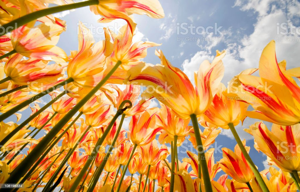 Olympic Flame Tulips stock photo