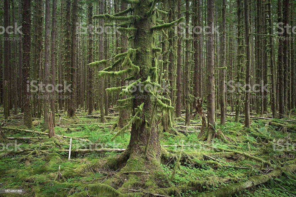 Olympic National Park Hoh Rain Forest Mossy Trees royalty-free stock photo
