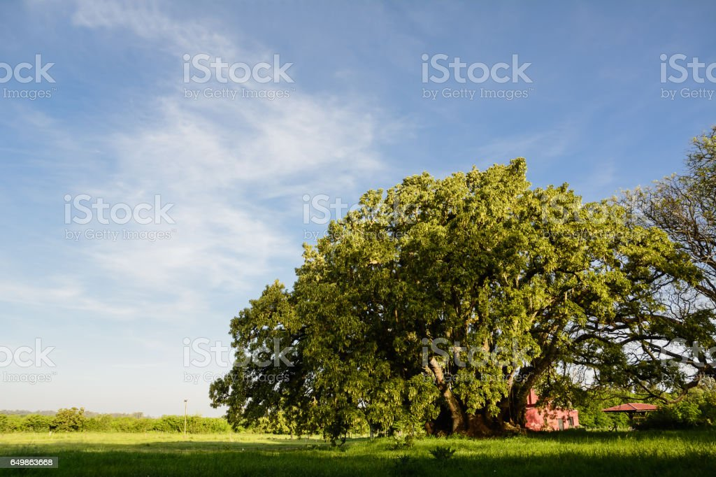 Ombu' tree in the pampa field stock photo