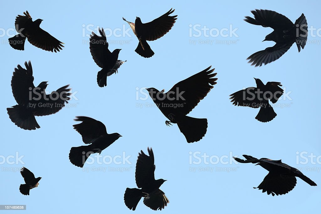 Ominous Black Birds Silhouetted on Blue Sky; Redwing Blackbirds stock photo