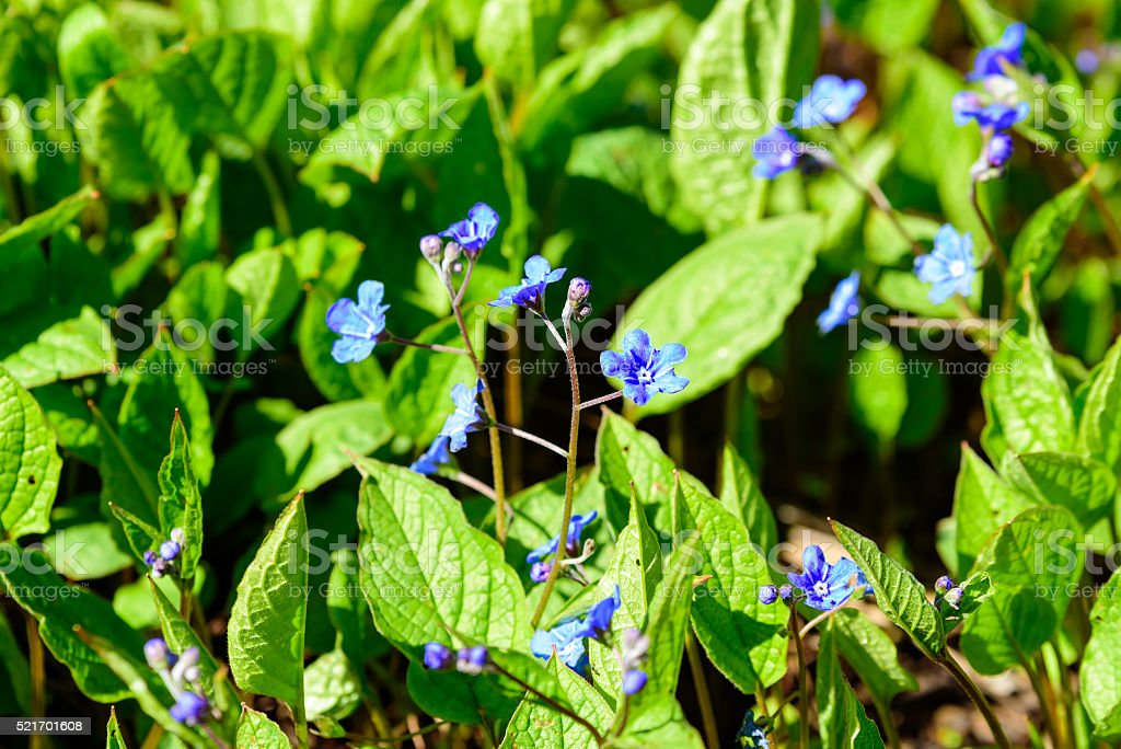 Omphalodes verna stock photo
