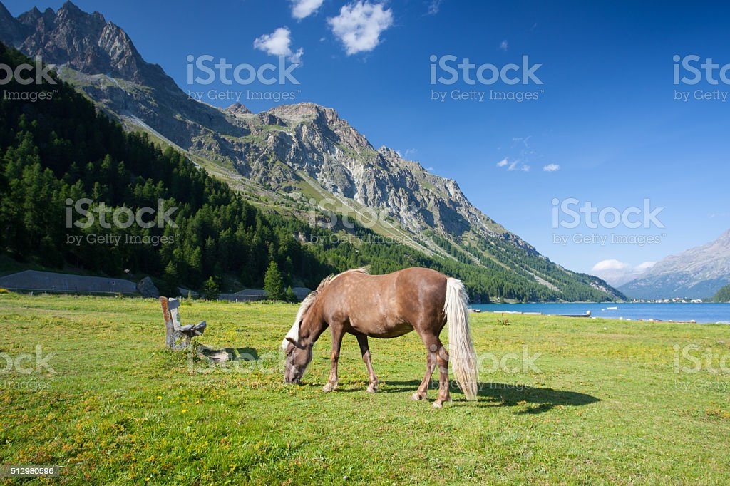 On a pasture near the Lake Sils. stock photo