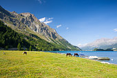 On a pasture near the Lake Sils.