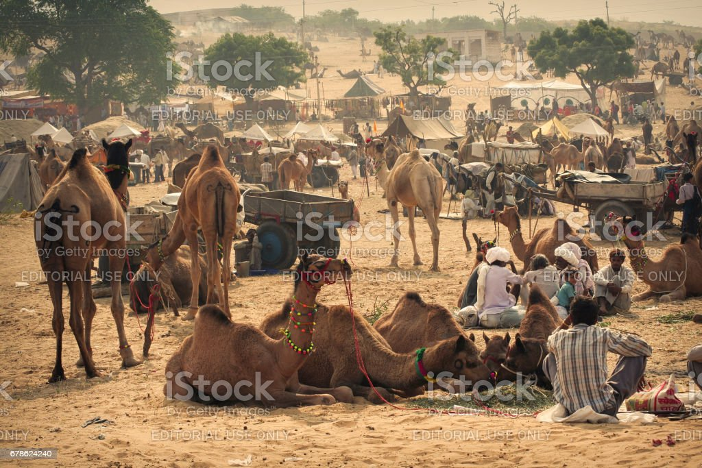 On a typical fair day camels, herders, traders, buyers, Wagon Carts etc. can be seen all over the place during this annual meet at pushkar, stock photo