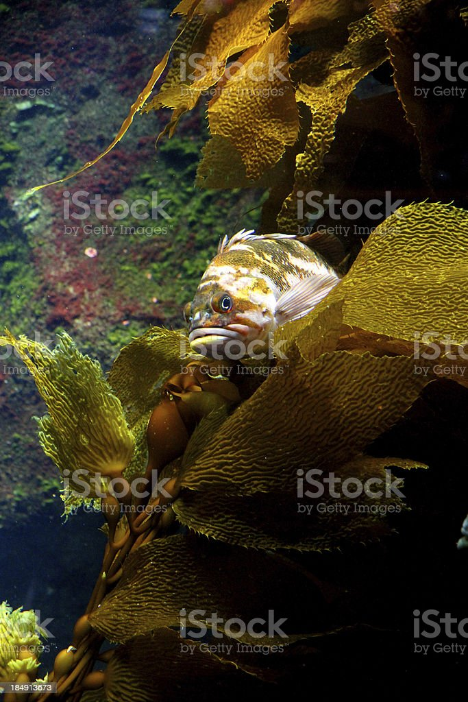 On Beds of Kelp stock photo