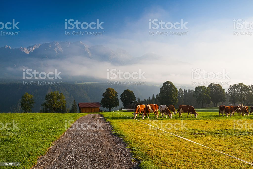 On pasture in the morning mist stock photo
