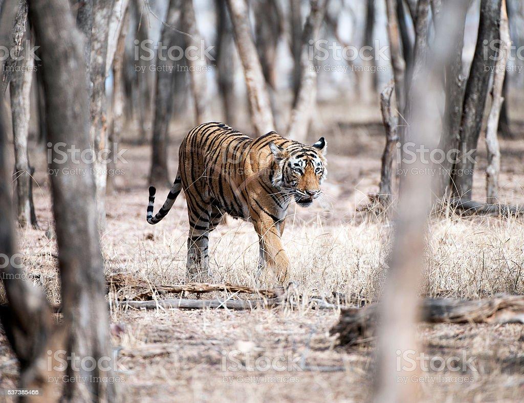 On Patrol - Tiger, Ranthambore, Rajasthan, India stock photo
