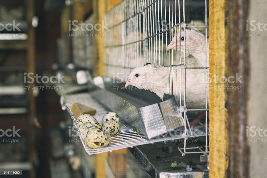On quail farm birds in cages stock photo