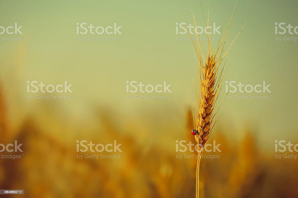 On ripened yellow wheat crawling ladybug on a field stock photo