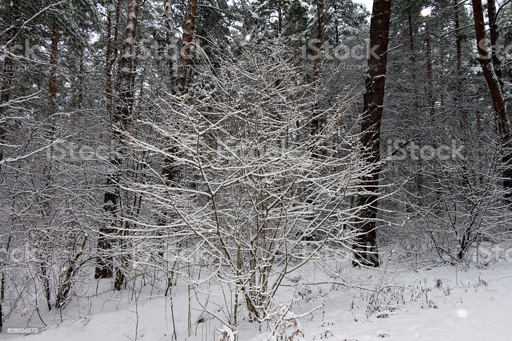 On the black branches of the tree lies a thick stock photo