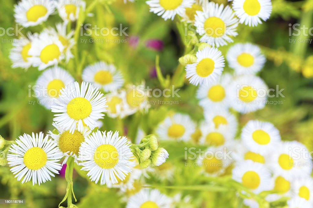 On the field with  White wild camomiles royalty-free stock photo