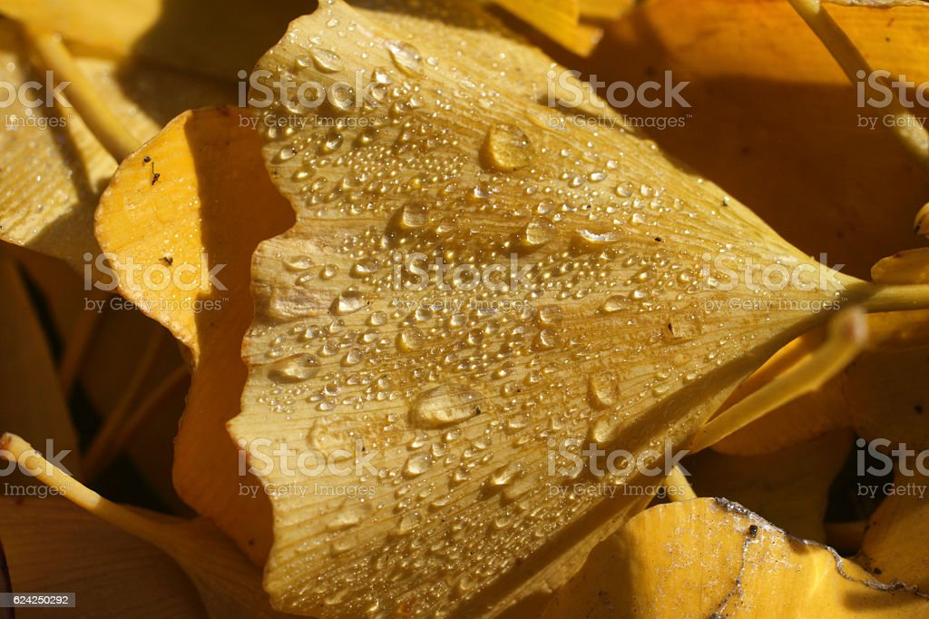 On the ground yellow ginkgo leaves with water droplets stock photo
