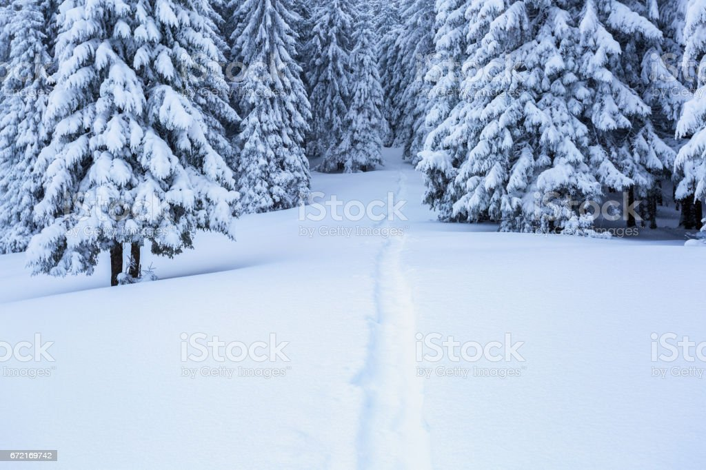 On the lawn covered with white snow there is a trampled path that lead to the dense forest in nice winter day. stock photo