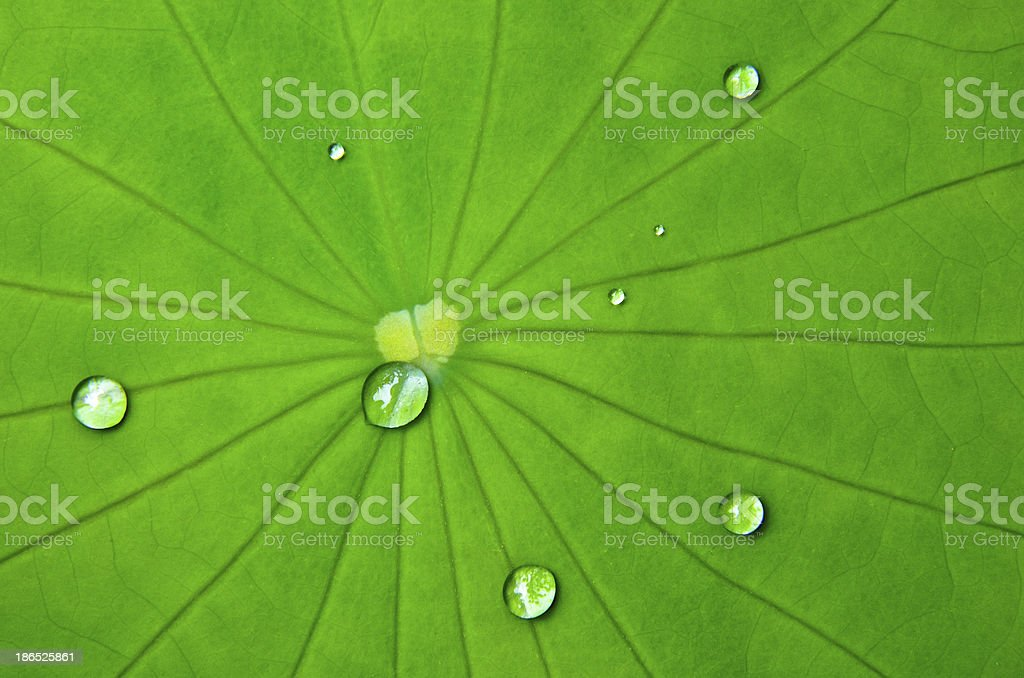 On the lotus leaf stock photo