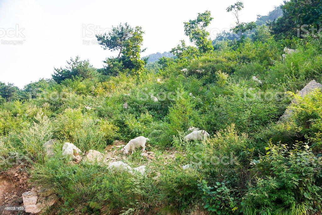 On the mountain goats royalty-free stock photo