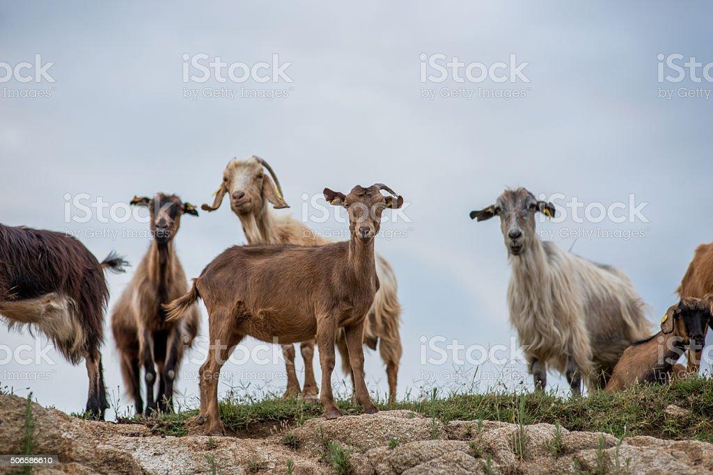 On the mountain goats stock photo