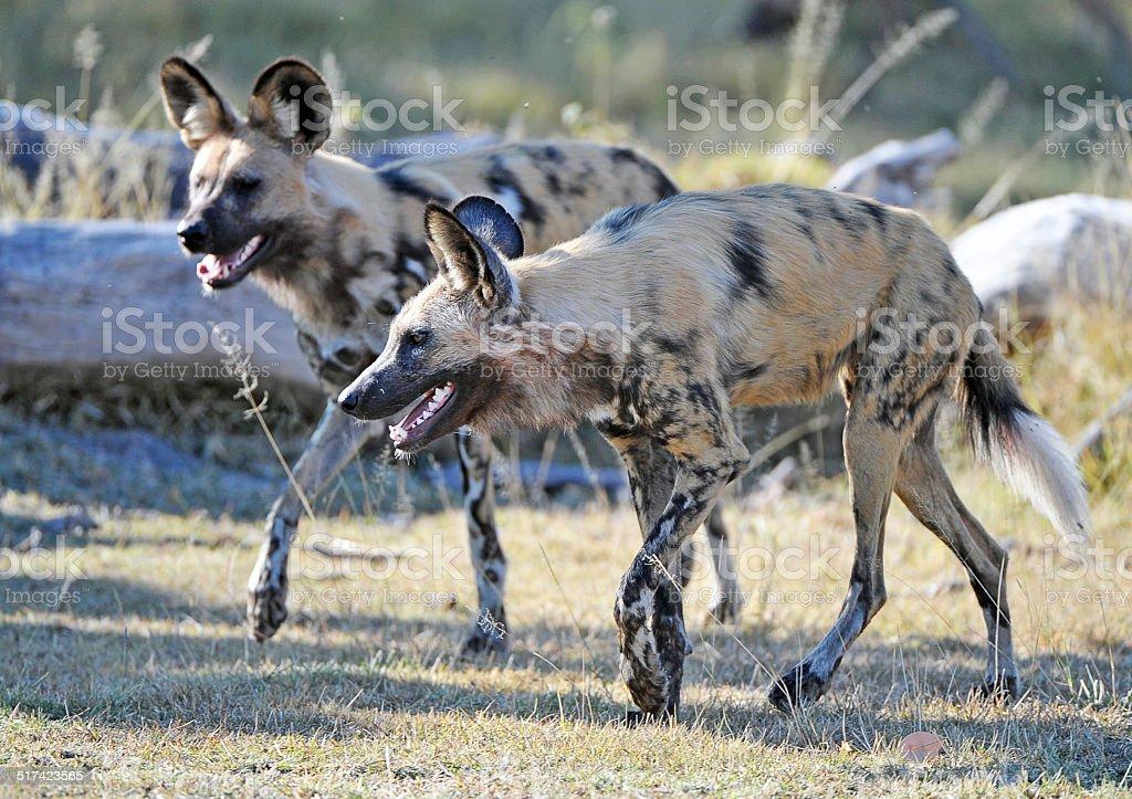 On the prowl, Botswana stock photo