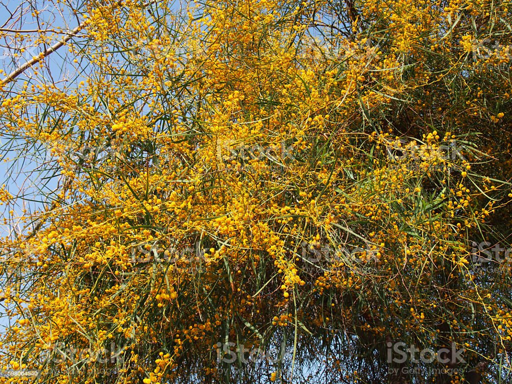 on the tree blossomed yellow flowers stock photo