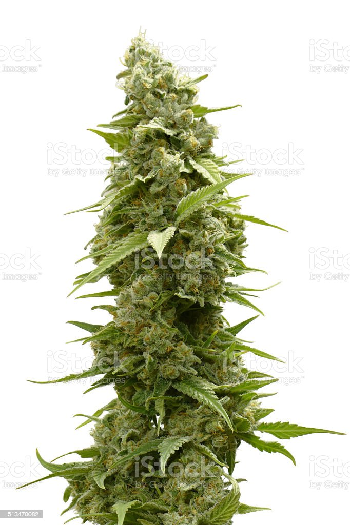 on Top of Cannabis Plant Isolated by White Background stock photo