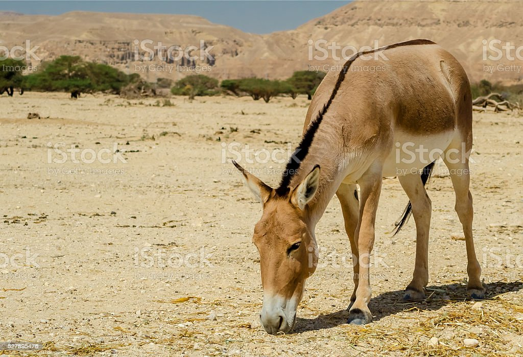 Onager in desert nature reserve, Israel stock photo